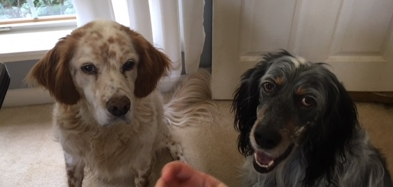 Setter Dogs For Adoption