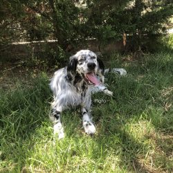 Available Dogs - Above and Beyond English Setter Rescue